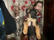 Продам подрощенных щенков немецкой овчарки